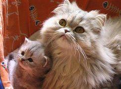 Gatinhos Persa e Himlaio
