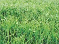 Sementes de Capim Panicum Maximum Aruana 10 Kg