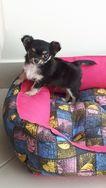 Filhote de Chihuahua pelo Longo