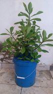 Planta Janaúba Medicinal (Synadenium Grantii) com 80 Cm de Altura