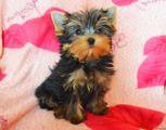 Black Friday Filhotes de Yorkshire Terrier