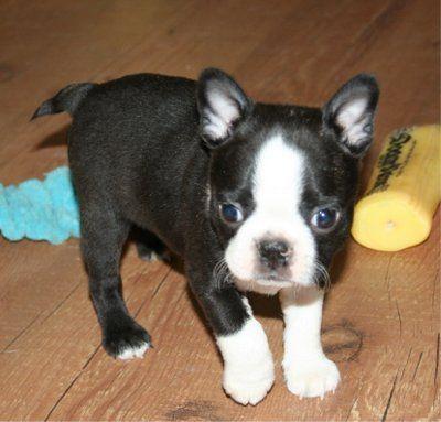 Fotos para Filhotes de Boston Terrier