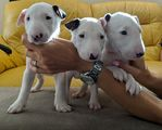 Bull Terrier Inglês com Garantias