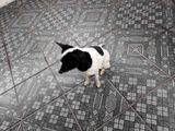 Cachorrinha Dócil Pequena