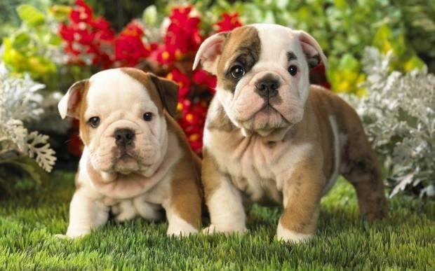 Filhotes Amorosos De Bulldog Inglês Desapega